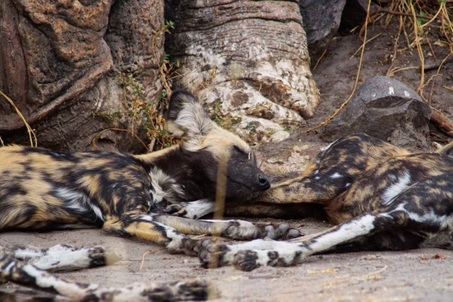 Savute Wild Dogs by Nigel Nicholls