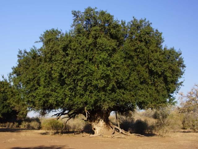 nyala tree
