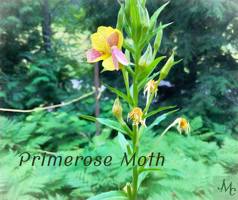 Primerose moth