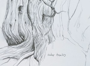 graphite drawing of cedar trunks done while drawing at a Nature Park on May Day