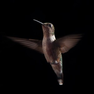 hersch_hummingbird_in_flight