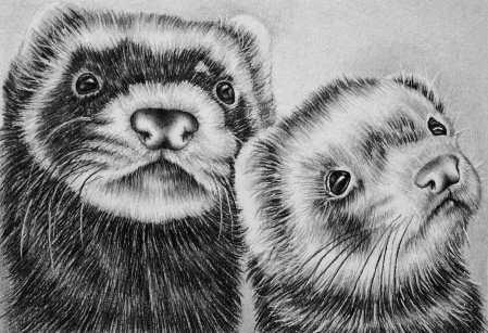 """""""Ferrets"""" 5""""x7"""" Graphite Pencil on Paper, SOLD"""