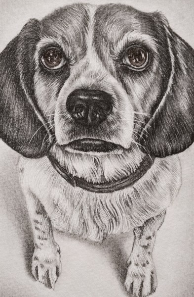 """Pencil Drawing: Beagle Portrait"", 5""x7"", Graphite pencil on paper, SOLD"