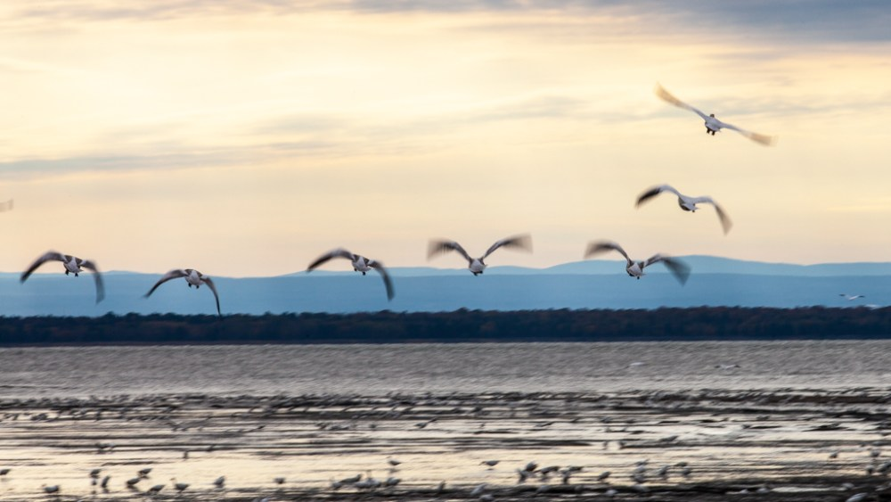 photo, Joan Sullivan, geese, Saint Lawrence, fleuve, river, Quebec, Canada