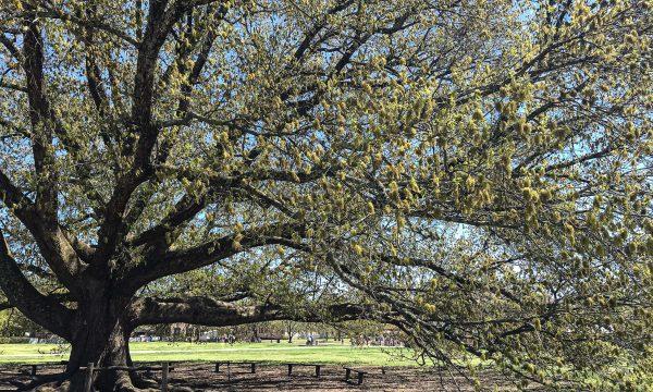 tree, Williamsburg
