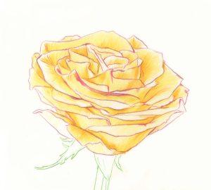 rose pencil drawing roses drawings colored graphite flower petal draw beginner paintingvalley single shapes getdrawings