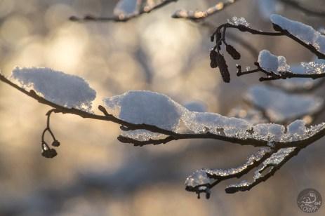 branches_alder_0099p