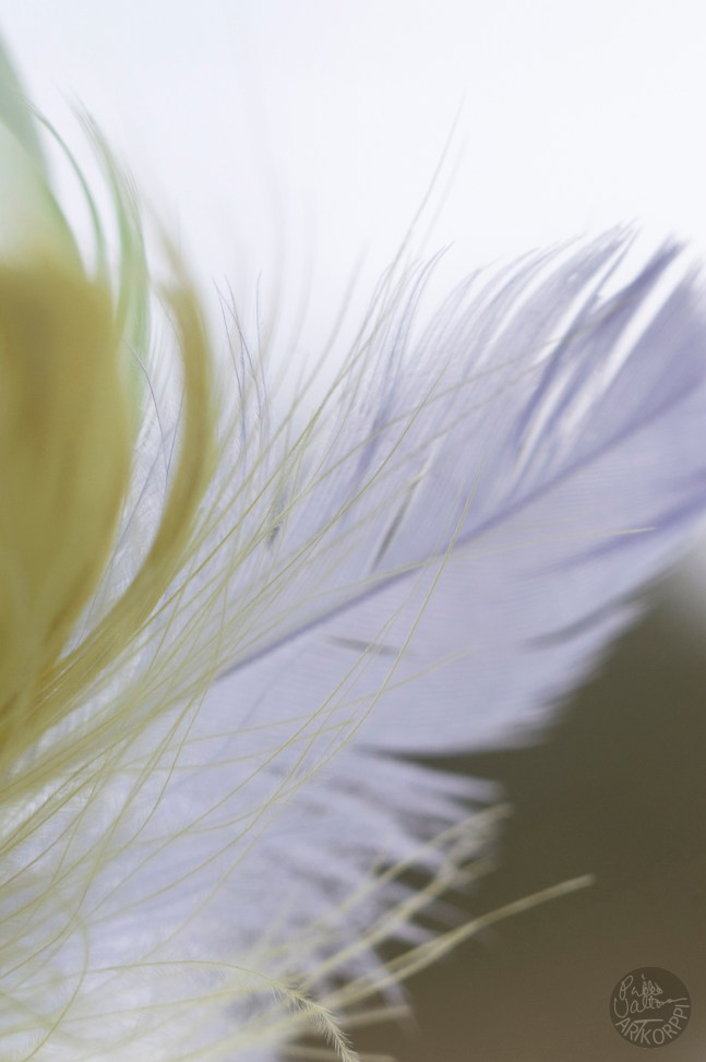 feathers_0126p