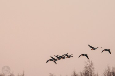 geese_1439p