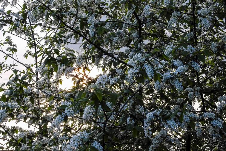 Prunus padus / Bird cherry / Tuomi