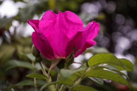 rose_31082014_0032p