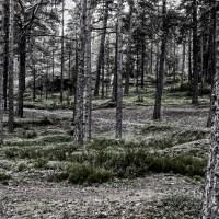 Pine Trees / Mäntyjä / Monochrome Madness 4-4