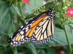 Uplift others - Monarch Butterfly