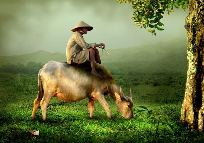 cow-519246_1920