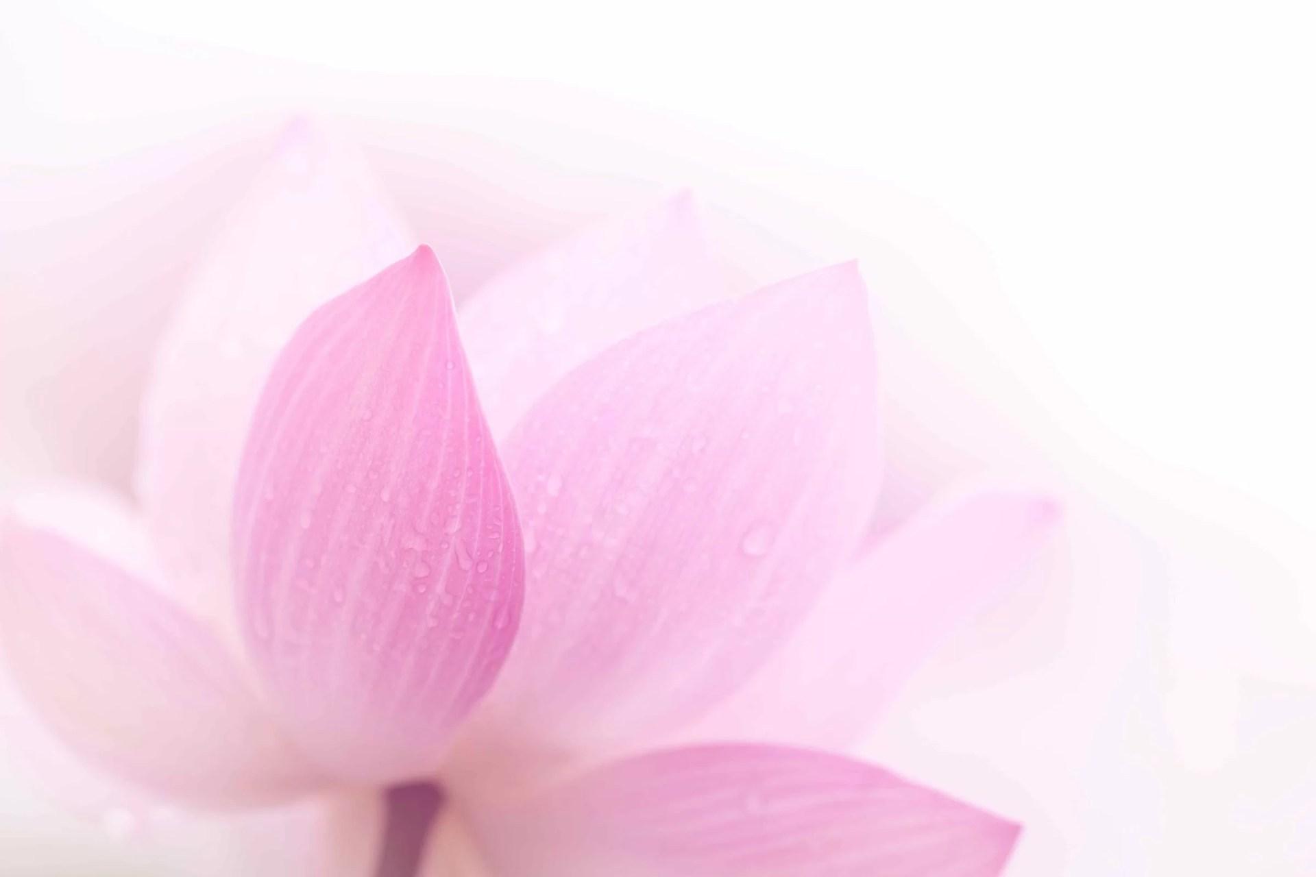 pink-lotus