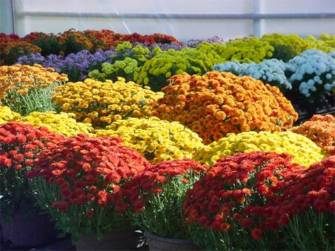 Mums-Collection