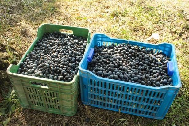 Olive Harvesting Basket