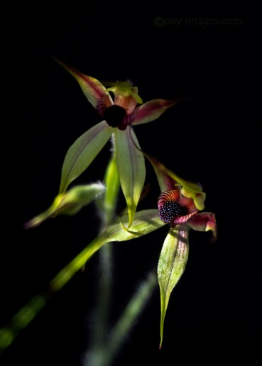 Two Leaping Spider orchids by Rob Cox