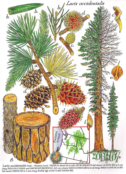 Forest Connections Gymnosperms of the United States