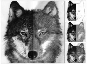 Wolf-Face-diagram-1024x764