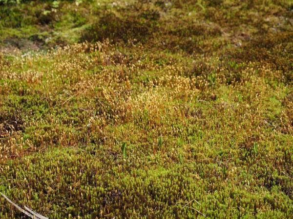 杉苔の地植えの群生の写真