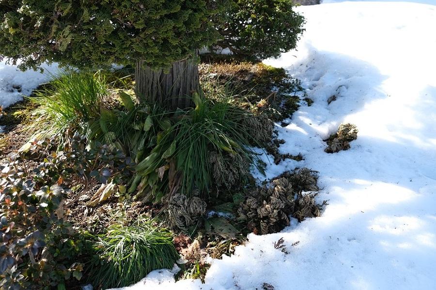 我が家の庭の風景写真イワヒバの自生竿ヒバの根の部分の写真