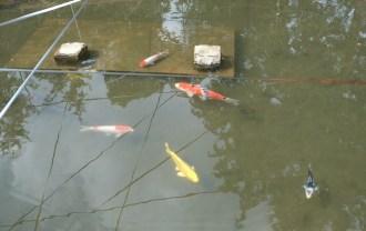x-t3レビュー画質の評価鯉の画像