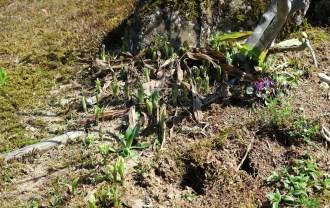 エビネランの自生の芽が出た画像写真