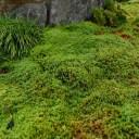 杉苔の自生の群生する様子の写真