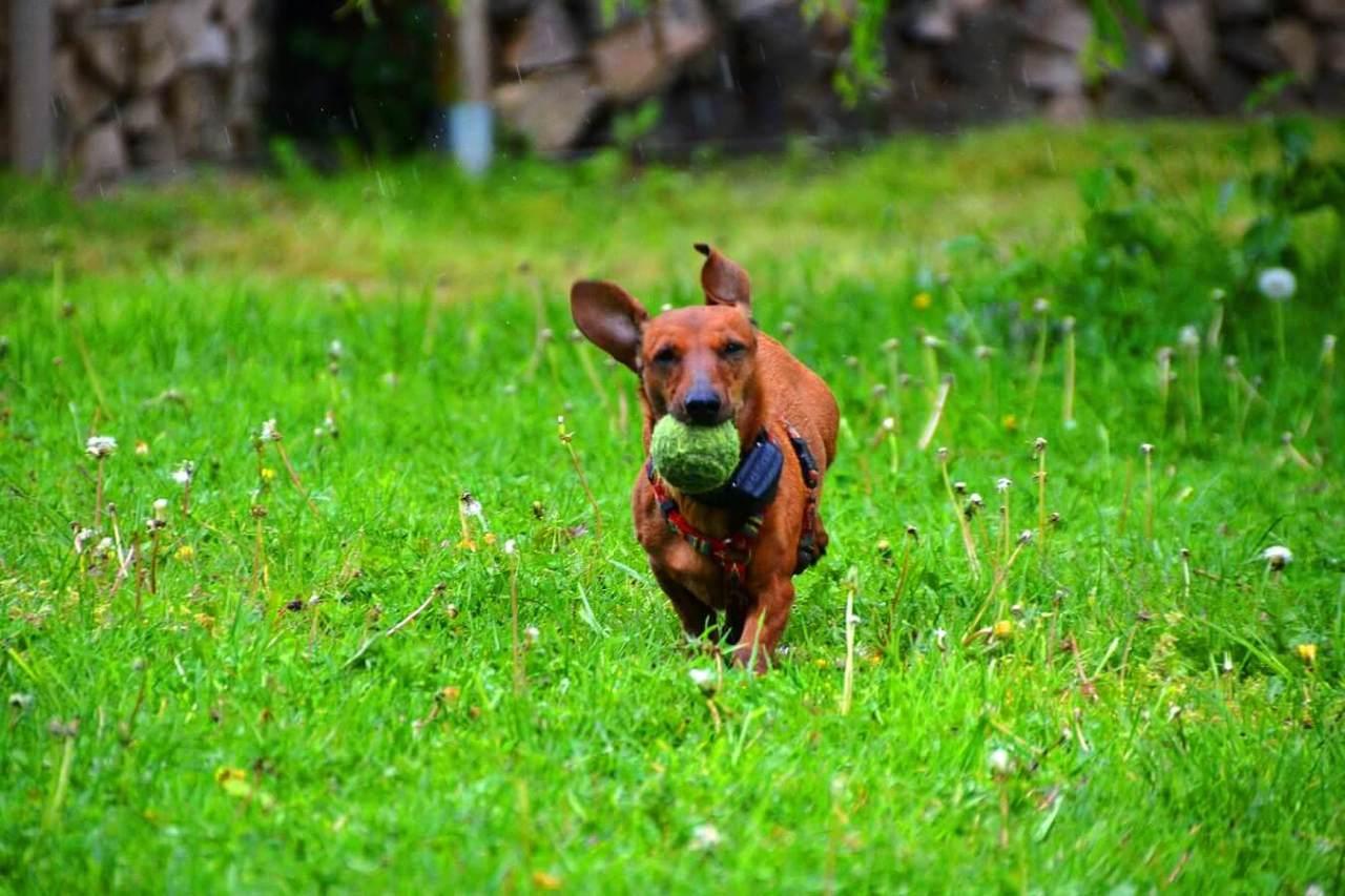 練習して効果的にしつける!犬のボールキャッチの教え方のコツ・手順5選