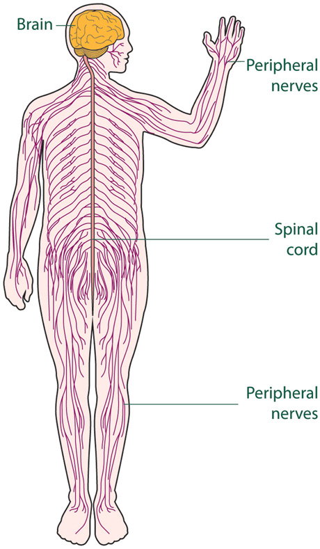 spinal cord and nerves diagram chevy 305 firing order the nervous system | natural science #2