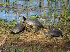 24-turtles