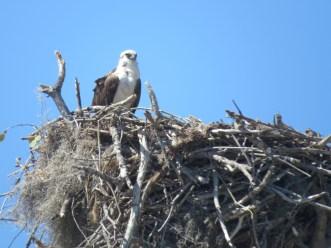 osprey-on-nest