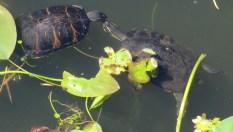 13b-turtle-love