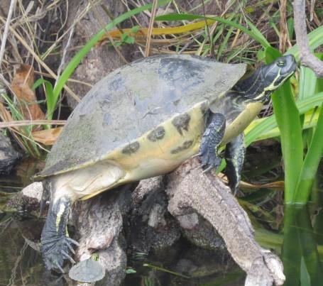 33-turtle