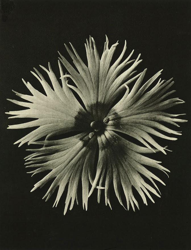 'Wundergarten der Natur',1932               © copyright Estate of Karl Blossfeldt Courtesy Hayward Touring