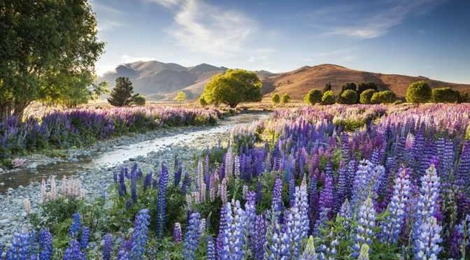 Richard Bloom's Tekapo Lupins International Garden Photographer of the Year overall winner 2016