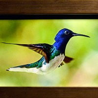Marianne-Hosein-White-Necked-Jacobin--Male