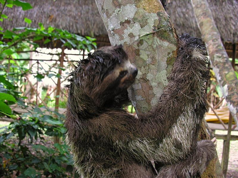 Our neighbor, the sloth