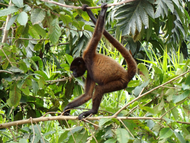 Spider monkey (Ateles chamek) spotted on the wild