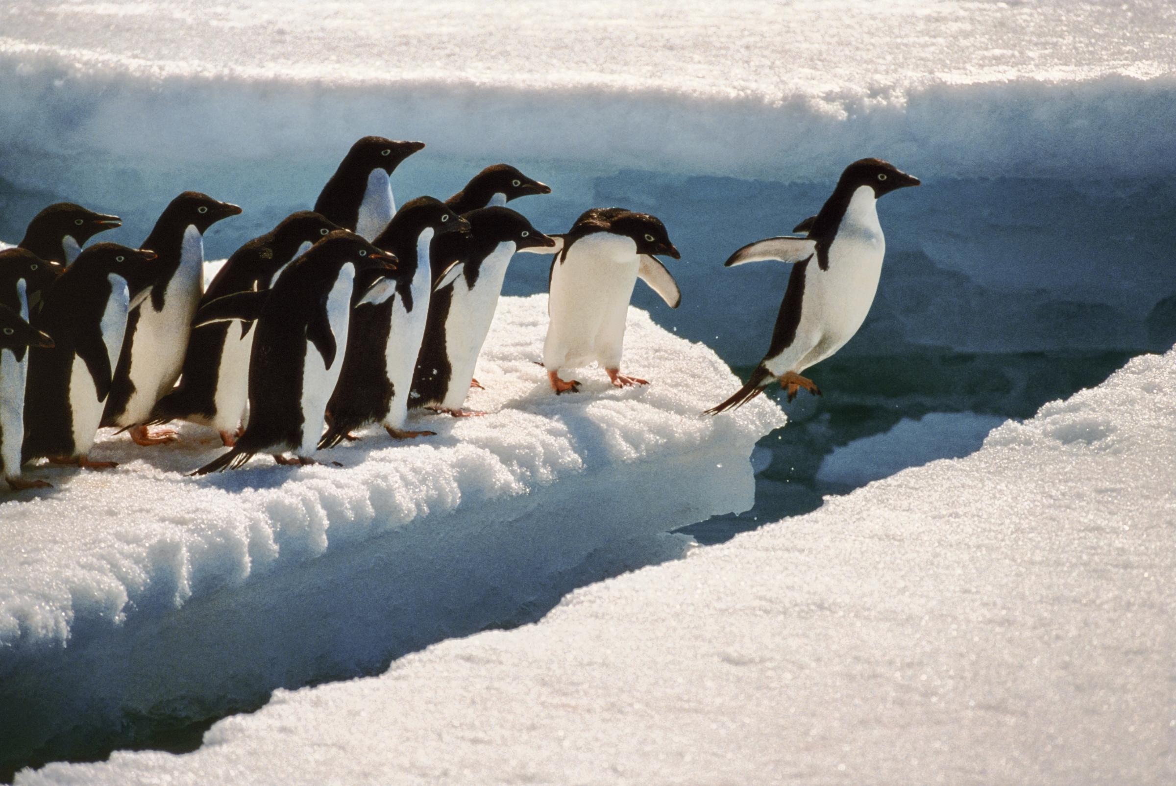 Leaping Adelie Penguin Arntarctica  Art Wolfe