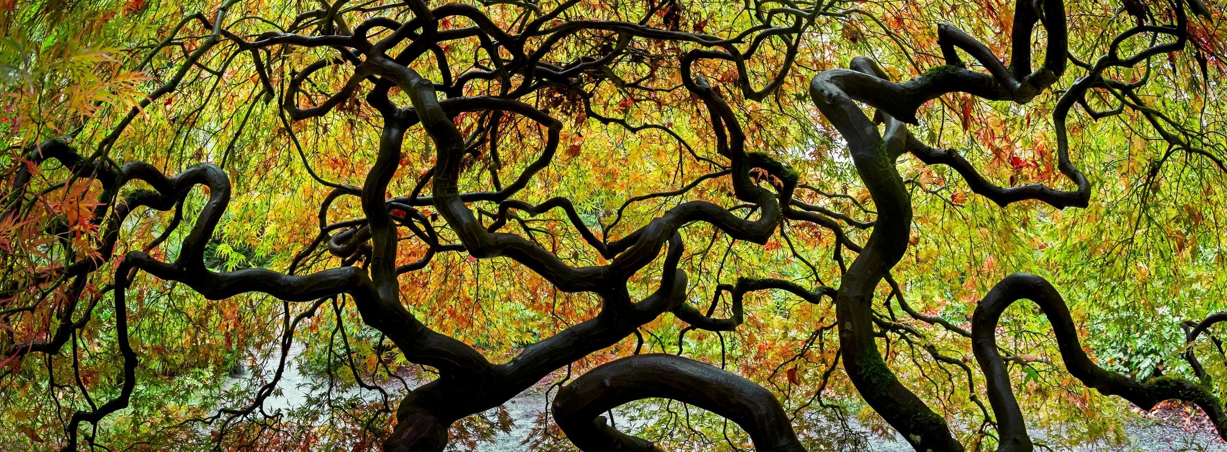 Japanese maple Washington Park Arboretum Seattle