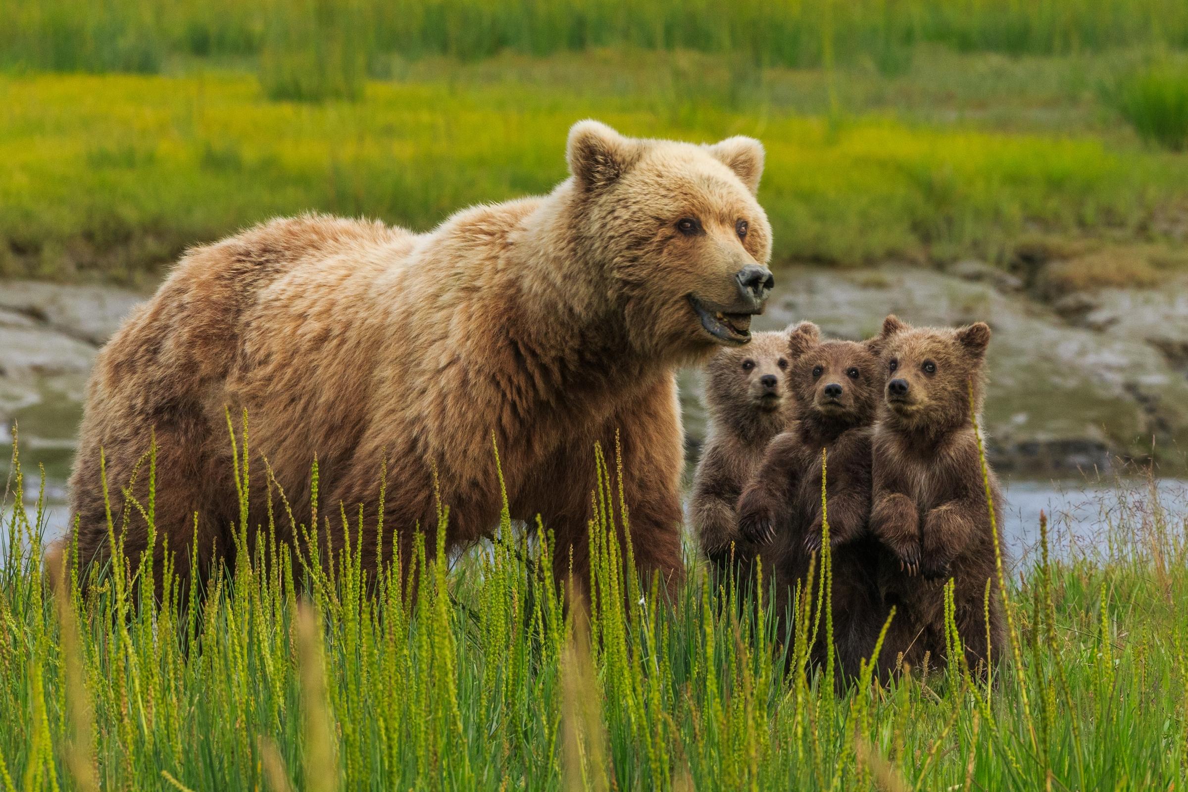 Cute Otter Wallpaper Brown Bears Lake Clark National Park Alaska Usa Art Wolfe