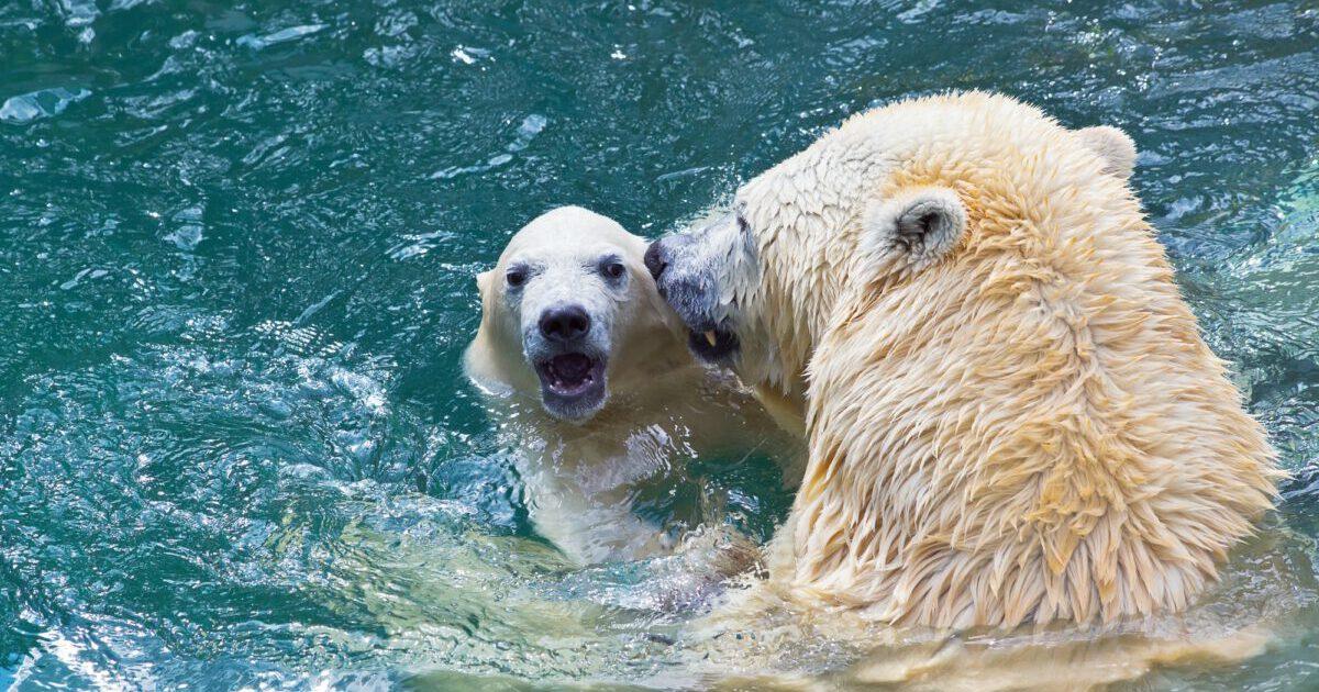 Bathing polar bears