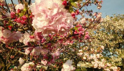 圧巻の桜!子連れでも行くべし「造幣局花のまわりみち」