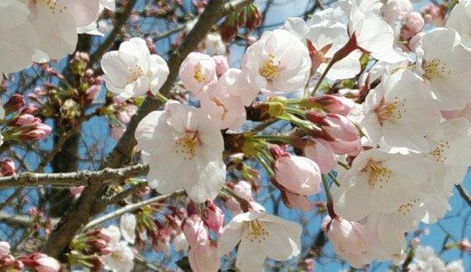 広島のおすすめお花見スポットは…紹介しません! 新型コロナ流行中の桜の楽しみ方は?