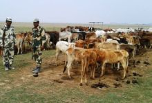 Photo of BSF seized 1456 Cattle from Dhubri