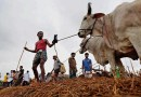 BSF Thwarts an attempted Cattle smuggling along Bangladesh Border