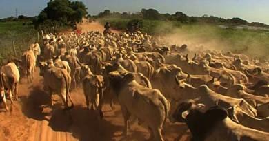 BSF Seizes Cattle Herd & Huge Bundles of Bidi