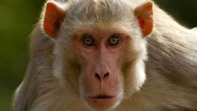 Farmer Developed a Device to Forced Monkeys to Stay Away From His Farm